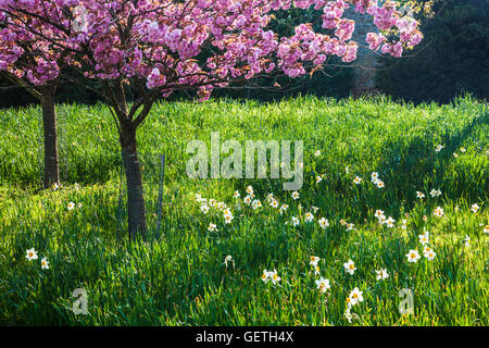 Cherry trees and daffoldils on the Bowood Estate in Wiltshire in spring. - Stock Photo