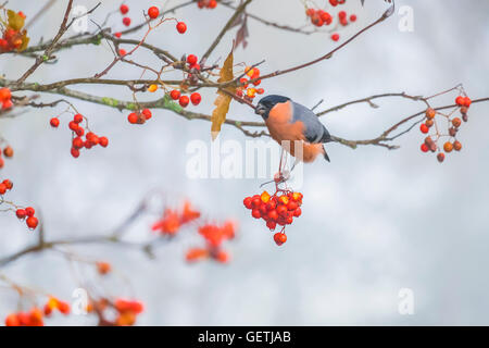 Male Bullfinch feasting on autumn berries. - Stock Photo