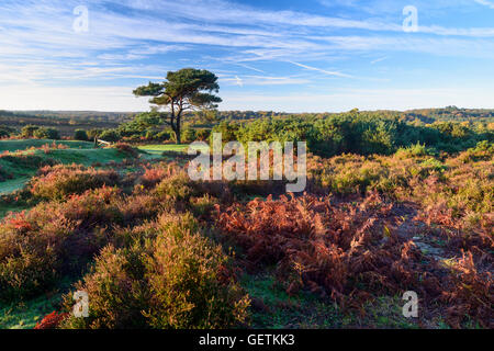 A view of a single pine tree at Bratley View in the New Forest. - Stock Photo