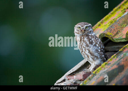 A Little Owl on the roof of a derelict building. - Stock Photo