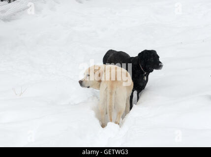 Two retrievers enjoy snow, in the foothills near Boulder CO - Stock Photo