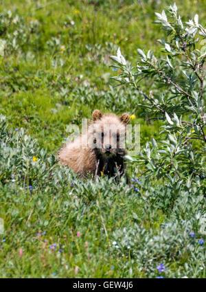 Grizzly bear cub (Ursus arctos horribilis), near Highway Pass, Denali National Park, Alaska, USA - Stock Photo