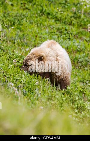 Sow (female) Grizzly bear (Ursus arctos horribilis), near Highway Pass, Denali National Park, Alaska, USA - Stock Photo