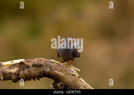 Cuckoo Calling - Stock Photo