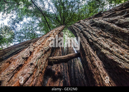 Big Basin Redwoods State Park, California - Stock Photo