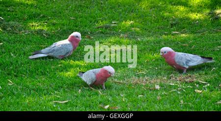 Three pink and grey galah cockatoos foraging on bright green grass in Western Australia. - Stock Photo