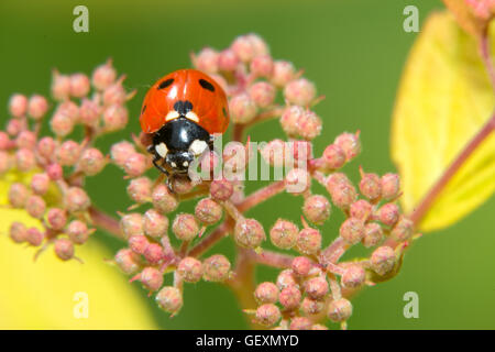 Ladybug crawling on a small decorative flowers bush - Stock Photo