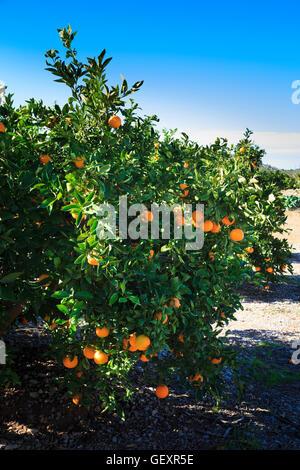 Oranges ripening in the sunshine on oarnge trees in Valencia in Spain. - Stock Photo