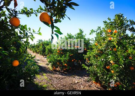 Oranges ripening in the sunshine on orange trees in Valencia in Spain. - Stock Photo