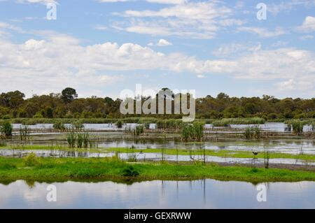 Floating wetland mudflats and reeds with purple swamp hen surrounded by lush native flora in Bibra Lake, Western - Stock Photo