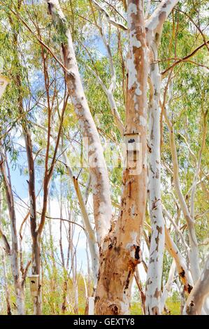 Bat nesting house with image hanging on a eucalyptus tree with green leaves and sky in Western Australia bushland. - Stock Photo