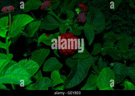 Flowers of Lantana camara - Stock Photo