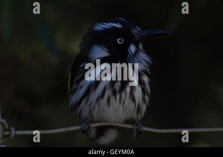 New Holland Honeyeater bird (Phylidonyris novaehollandiae) sitting on a wire - Stock Photo