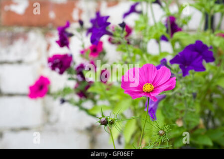 Cosmos flower in front of Petunias in a hanging basket. - Stock Photo