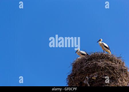 pair of storks on nest against blue sky background - Stock Photo