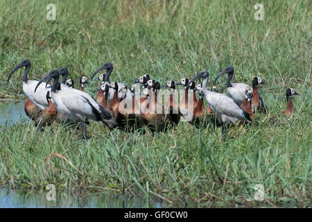 White faced whistling ducks standing with sacred ibis - Stock Photo