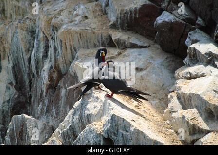Inca Terns on a rocky island of Islas Ballestas - Stock Photo