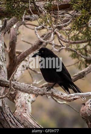 The Black Curraong of Tasmania - Stock Photo