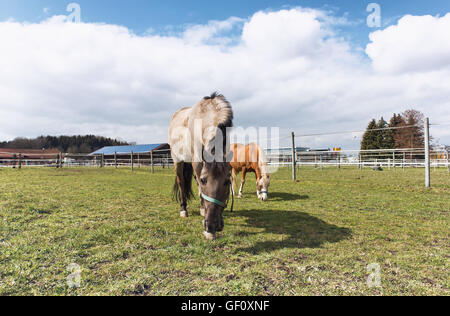 Two horses wearing halters grazing outdoors in a field or paddock on a cloudy blue sky day on a farm - Stock Photo