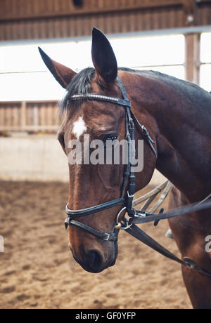 Well groomed brown horse wearing a bridle in an indoor riding school, close up head shot - Stock Photo