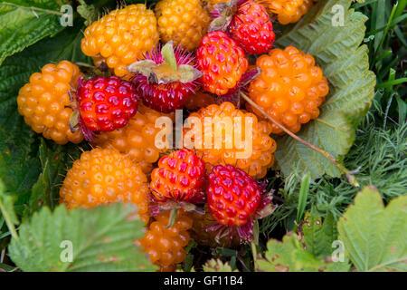 Alaska, Aleutian Islands, Unga Island. Wild golden and red salmonberries (WILD: Rubus spectabilis) - Stock Photo