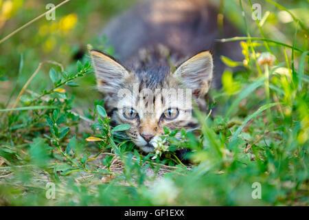 Playful little kitten hiding in the grass - Stock Photo
