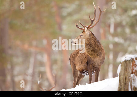 Red Deer in the winters snow - Stock Photo