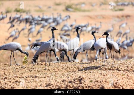 Thar Desert, demoiselle cranes wintering, Khichan, India - Stock Photo