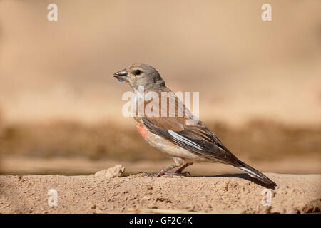 Linnet, Carduelis cannabina, Single male by water, Spain, July 2016 - Stock Photo