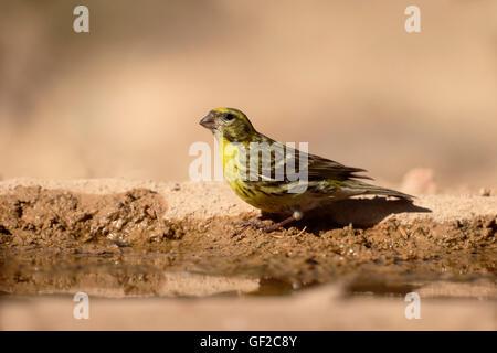Serin, Serinus serinus, Single male by water, Spain, July 2016 - Stock Photo
