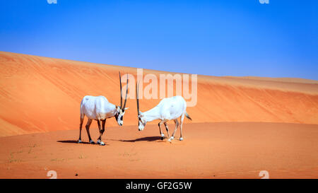 Oryxes or Arabian antelopes in the Desert Conservation Reserve near Dubai, UAE - Stock Photo