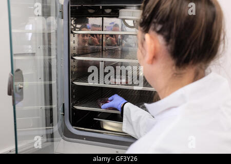 Jerusalem, Israel. 28th July, 2016. A lab technician puts a petri dish with cultured tissue into an incubator at - Stock Photo