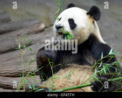 Giant panda (Ailuropoda melanoleuca) view from front and eating bamboo - Stock Photo