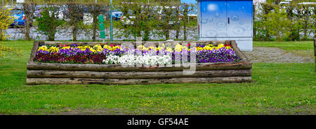 field of white, purple, yellow and red pansies - Stock Photo