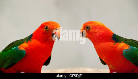 Red Head male Australian King Parrot Alisterus scapularis native birds close-up - Stock Photo