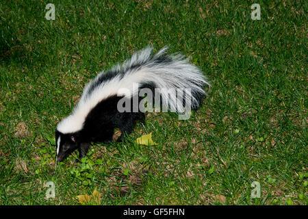 Skunk in Backyard Stock Photo, Royalty Free Image ...