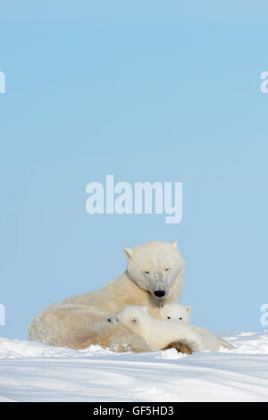Polar bear mother (Ursus maritimus) lying down on tundra with two cubs, Wapusk National Park, Manitoba, Canada - Stock Photo