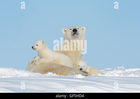 Polar bear mother (Ursus maritimus) lying down on tundra, looking at camera, with two cubs, Wapusk National Park, - Stock Photo