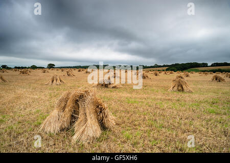 Traditional barley stooks used for thatching under a moody Devon sky. - Stock Photo