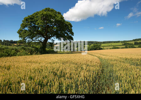 Blue skies over a corn field near Lerryn in the Cornish countryside - Stock Photo