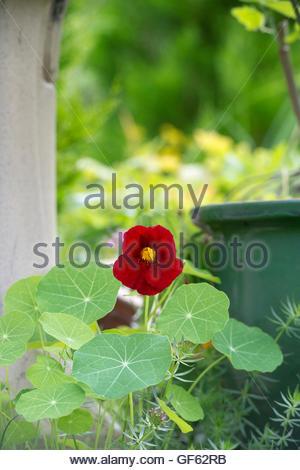 Tropaeolum majus. Nasturtium 'Jewel of africa' flower in an english garden - Stock Photo