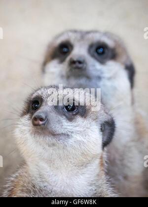 A meerkat (Suricata suricatta) pair, in captivity at the Calgary Zoo in Calgary, Alberta, Canada. - Stock Photo