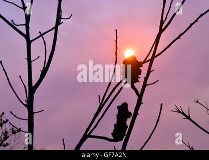 Glowing sun in a smoky sky at sunset with burnt Banksia tree in foreground (after a bushfire) - Stock Photo