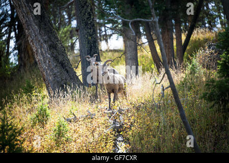 Two female Bighorn Sheep in Yellowstone National Park - Stock Photo