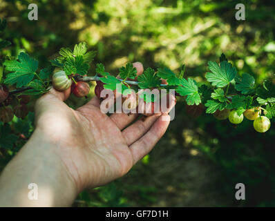 Man's hand picking ripe gooseberies in garden on sunny summer day - Stock Photo