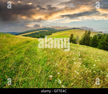 large meadow with mountain herbs and a conifer forest in front of mountainous massif away in the background - Stock Photo