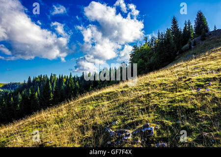 conifer forest on the hillside meadow with few flowers in fresh grass - Stock Photo