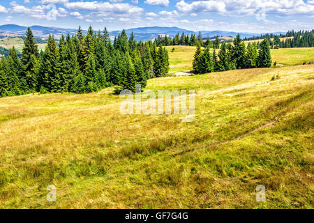 spruce forest on the edge of the hill in Carpathian mountains - Stock Photo