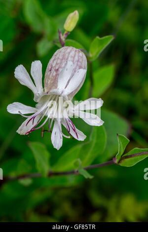 Bladder campion / maidenstears (Silene vulgaris) in flower - Stock Photo