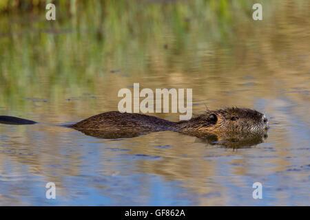 Coypu / river rat / nutria (Myocastor coypus) native to South America swimming in pond - Stock Photo